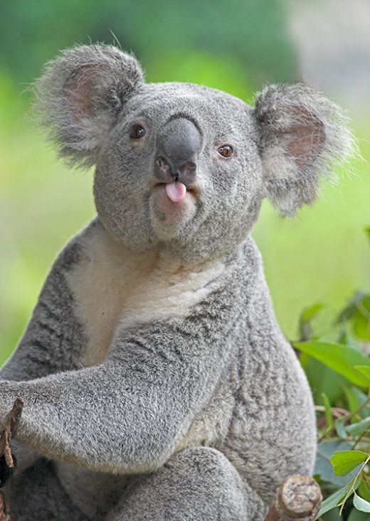 Adorable koala - cute little tongue!