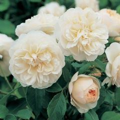Lichfield Angel - David Austin; creamy white with apricot hint, vigorous rounded shrub, excellent repeat, hardy, fragrance has elements of clove. 4ft x 3ft