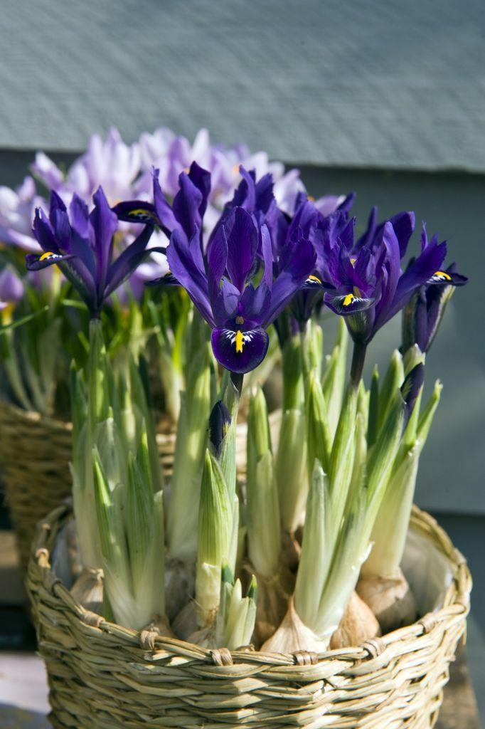 Våriris, Iris reticulata.