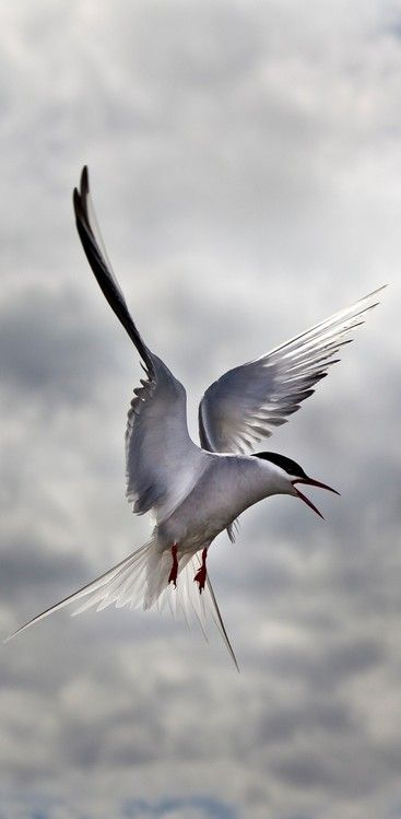 Arctic Tern in Flight © Paul Gadd - A small, slender white bird, the Arctic Tern is well known for its long yearly migration. Its travel from its Arctic breeding grounds to its wintering grounds off of Antarctica may cover perhaps 40,000 km (25,000 mi), and is the farthest yearly journey of any bird.
