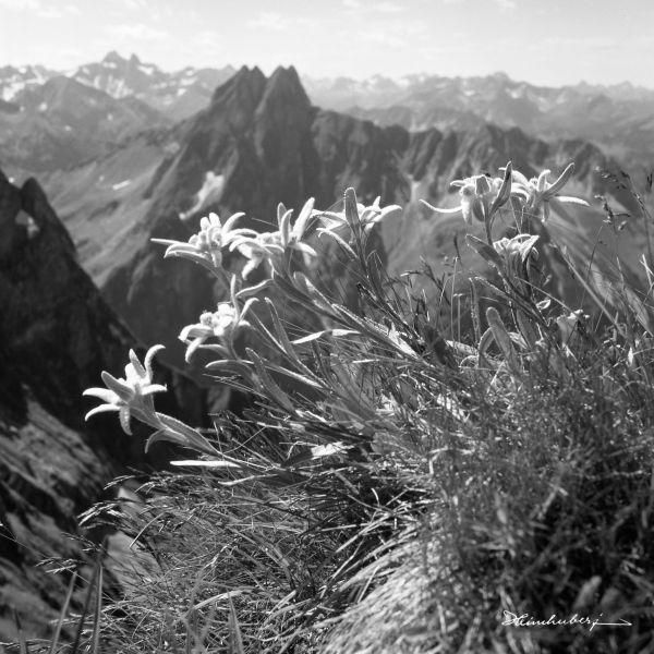 Wild romantisches Edelweiß am Berghang vor Höfats. Jetzt als Wandbild online bestellen. Entdecken Sie viele weitere Bergbilder in unserem Online-Shop!