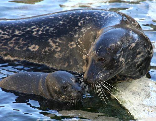 Harbor Seal: Sea Creatures, Mothers, Adorable Seals, Aquarium, Baby Girls, Harbor Seals, Births, Animal, Baby Seals