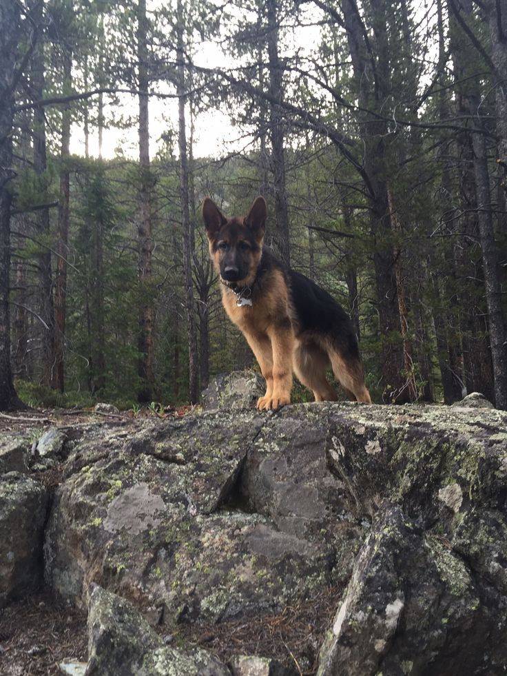 GSD-The Beast...king of the hill