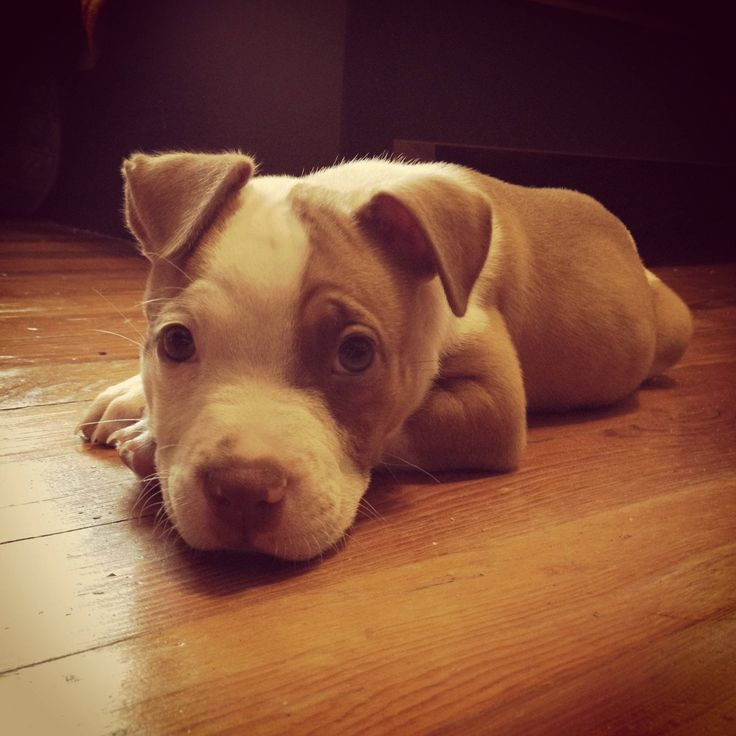 pitbull puppy at rest
