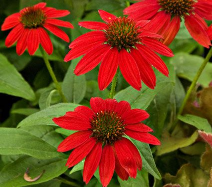 Echinacea Salsa Red, cut back echinacea in June for later flowering and more compact plants