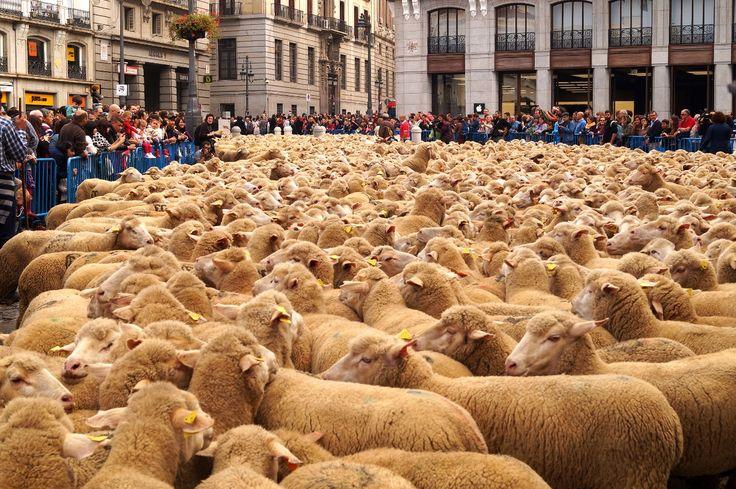 Con el rebaño por Madrid
