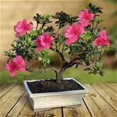 Bonsai Rhododendron indicum 14 yrs old - 1 tree