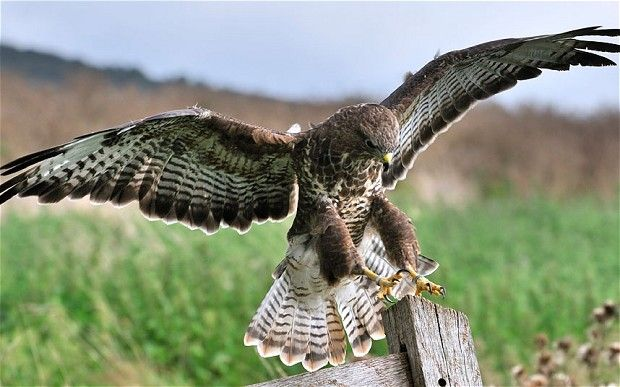 Plans to destroy buzzard nests shelved in coalition u-turn - Telegraph