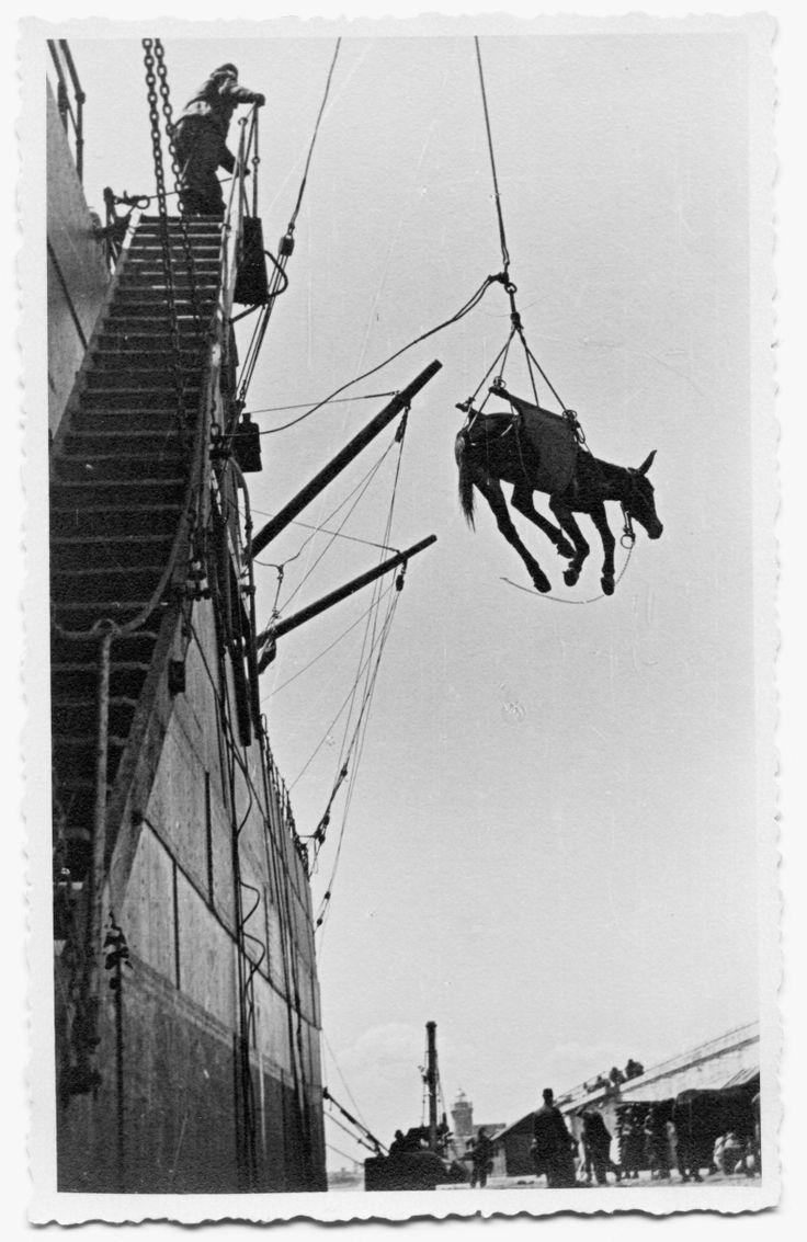 """14 maggio 1941. Scarico dei muli """"[…] facevano venire avanti un mulo alla volta chiamandolo per nome, e mentre il conducente gli parlava e lo accarezzava sul muso, degli estranei gli facevano passare un telone sotto la pancia e lo imbracavano; a un gesto il paranco si metteva in azione e il mulo si trovava scalciare nell'aria. Terrorizzato."""" (Mario Rigoni Stern, Quota Albania, pag. 45)"""