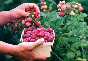 Growing Rasberries