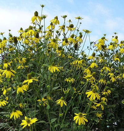 Rudbeckia nitida 'Herbstsonne': Metals Hoop, Backyard Beautiful, Black Eye, Eye Susan, 33 37 Retaining, California Gardens, Google Search, 1316 Pinnacle, Florida Gardens