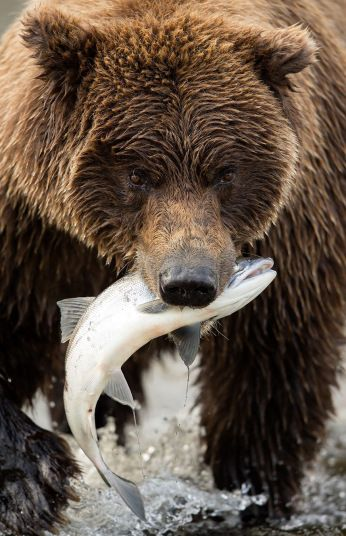 Brown bears hunt for salmon in Alaska by photographer Danny Green