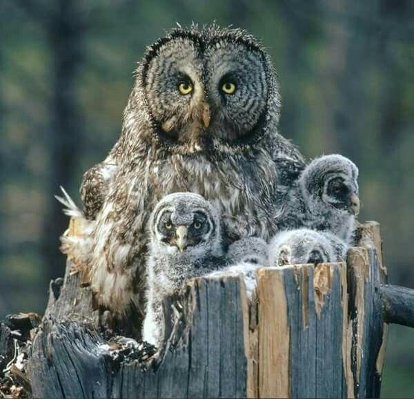 Great Grey owls
