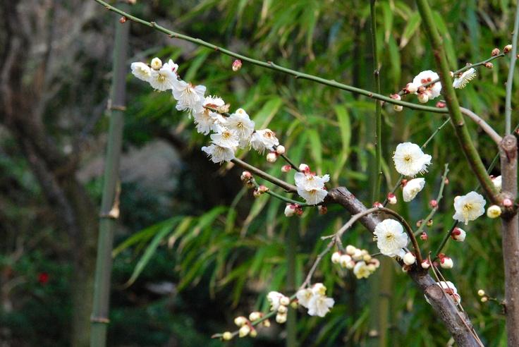 Ume blossom, Japanese Garden