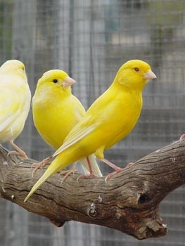 Canaries, love love love them and their cheery songs, they make my heart happy.mine are singing to beat the band as I pin these :-)  I've  raised them for over 30 yrs
