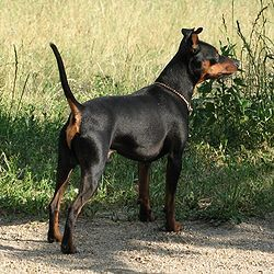 Pinscher nain.                                                                                                                                                                                 Plus