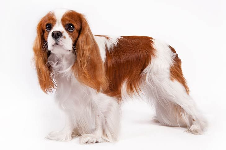 Cavalier King Charles Spaniel Dog Breed Information King Charles