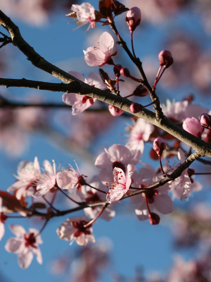 Blossoms in Canberra. How I miss spring in Canberra!