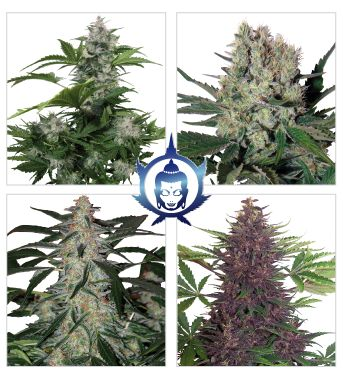 Buddha Seeds Assorted Auto Feminised Cannabis Seeds