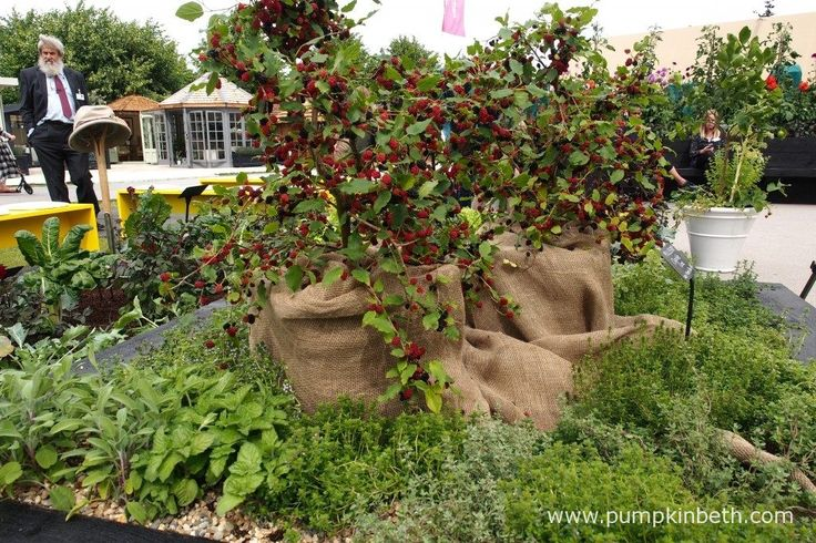 Mulberry 'Charlotte Russe', pictured in the RHS Kitchen Garden, at the RHS Hampton Court Palace Flower Show 2017.