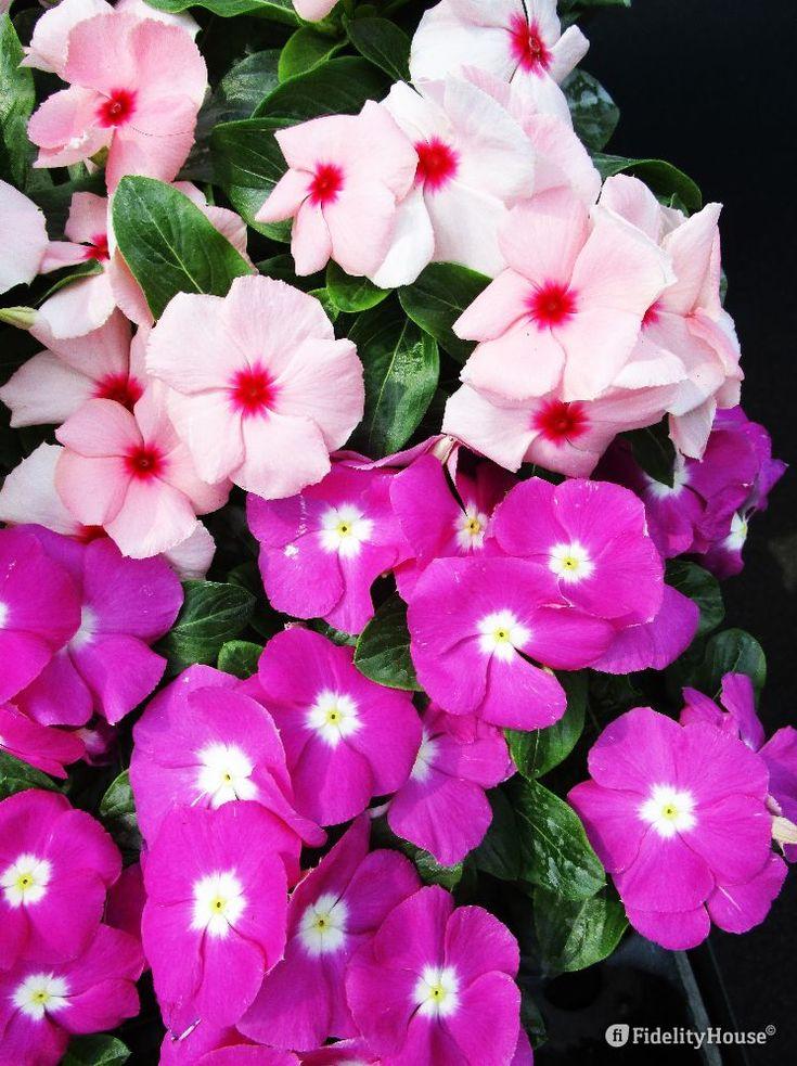 La pervinca è una pianta perenne resistente alle alte temperature. Il colore del suo fiore varia dal bianco al rosa.