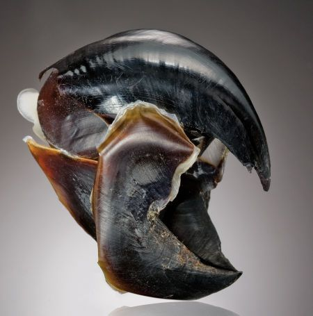 Beak from a Humbolt Squid Dosidiscus gigas, Sea of Cortez, Western Mexico