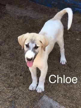 Litter Of 9 Anatolian Shepherd Puppies For Sale In Gainesville Fl