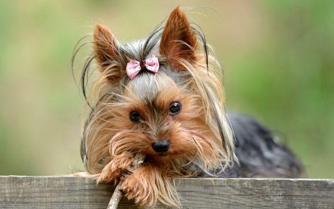 Hunde Fur Senioren Die 10 Besten Hunderassen Fur Alte Menschen Yorkshire Terrier Hunderassen Hunde Rassen