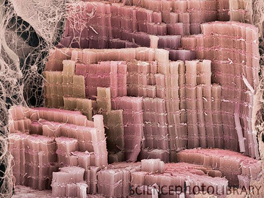 Muscle fibre, SEM (Scanning Electron Microscope). I changed my mind, I want to be a scientist and study EVERYTHING!