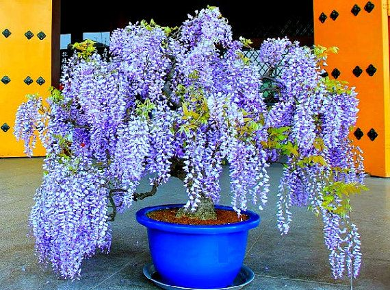 Bolusanthus, South African Wisteria Tree, 10 seeds, warm zones 9 to 10, fragrant blooming tree, drought tolerant, street tree, great bonsai