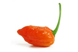 Bhut Jolokia Chilli ~ The worlds hottest chilli to date ~ Originating in Assam, Northeastern India.