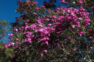 Manacá-da-serra - Jardim de Flores