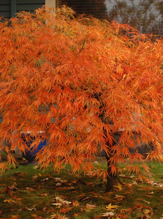 The Six Best Japanese Maples for Fall Color--Acer palmatum var. dissectum 'Viridis'