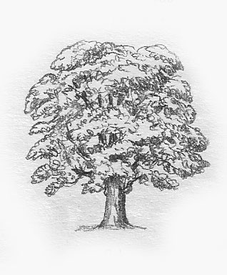 drawing elements of landscape: oak tree drawing techniques