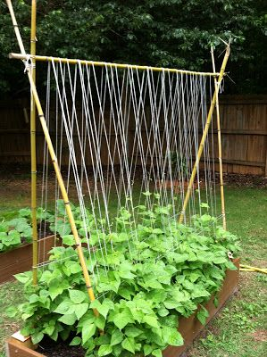 Sugarsnap pea trellis. Sugar snap peas, 2 ft by 5