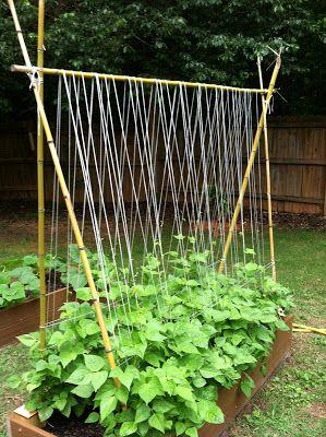 Sugarsnap pea trellis. Sugar snap peas, 2 ft by 5