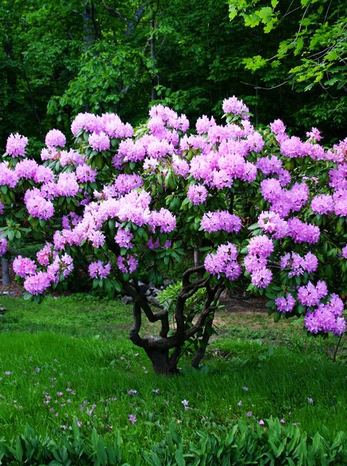 Best Flowers Rhododendron Images On Pinterest Flowers Garden