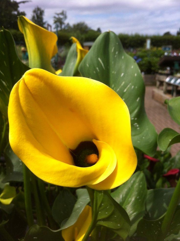 Happy yellow outdoor Calla lily.
