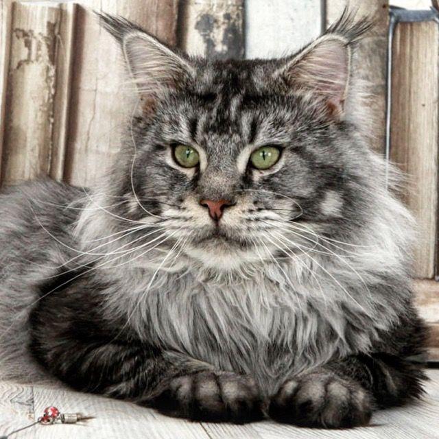 Фото Мейн-Кунов.  Красота неземная! Достойна восхищения! Теперь понятно, почему в древнем Египте люди котам поклонялись! Смотрите фото котов Мейн Кун, добавляйте комм