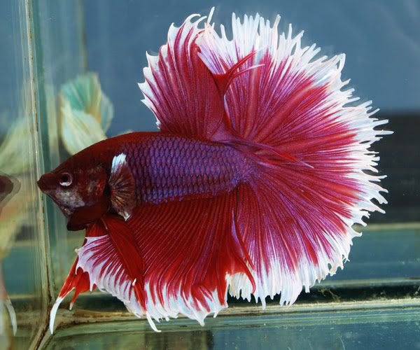 how to get my betta fish to eat