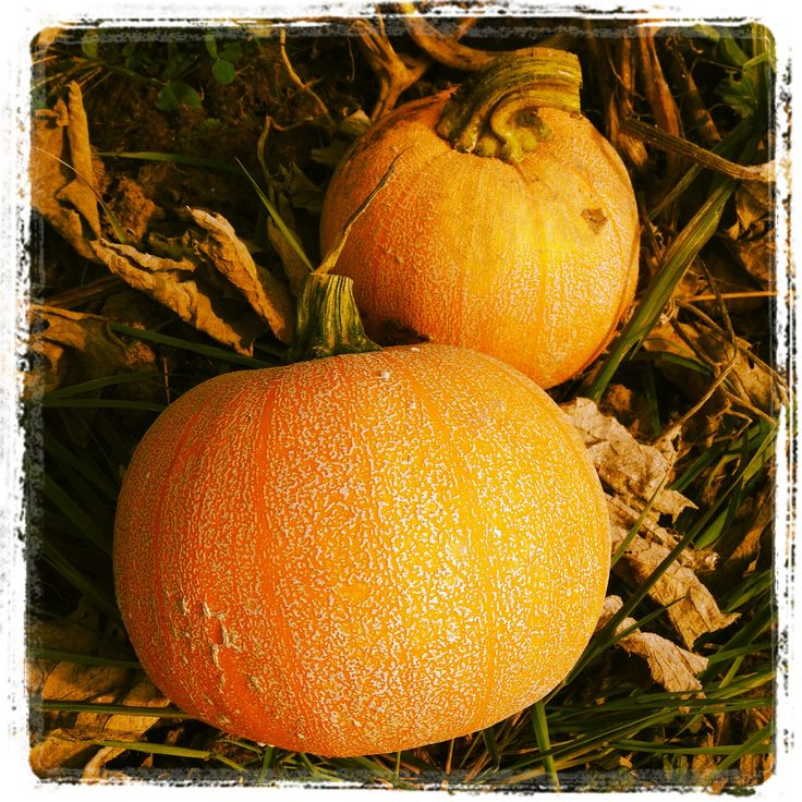 Despite their Halloween presence, pumpkin are a fantastic, fiber loaded base and that equals a awesome pantry staple!   Just a few pumpkins and some easy prepping and you can have a pantry full of goodness all year long.
