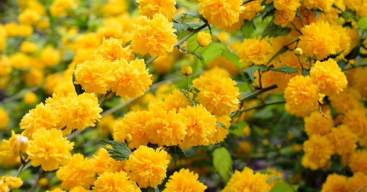 Der Ranunkelstrauch wird als robuster, verlässlicher Blütenstrauch geschätzt, der an allen Standorten gedeiht. Wir zeigen den hübschen Frühjahrsblüher im Porträt.