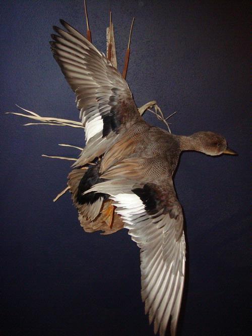 Gadwall duck mounts - photo#21