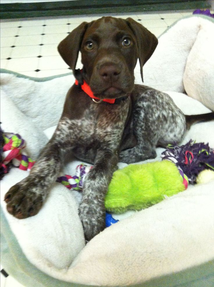 German shorthaired pointer puppy. Riley
