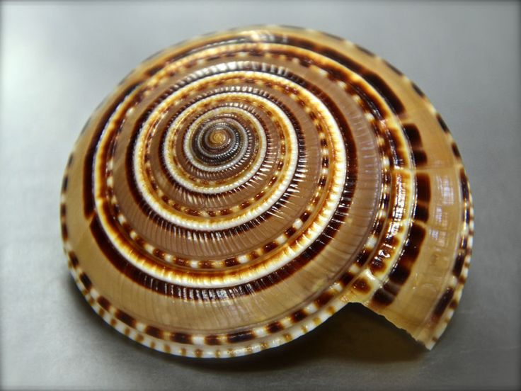 Architectonica trochlearis, Philippines, 54,2 mm, Sundial.....
