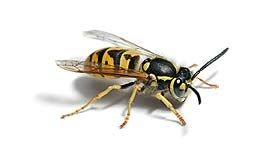 how to get rid of a wasp in your room