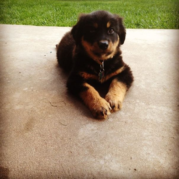 Magnolia (golden Rottie--golden Retriever/rottweiler Mix ...