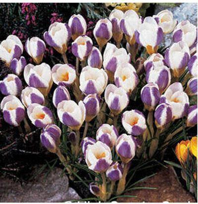 120PCS Saffron Seeds Saffron Flower Seeds Saffron Crocus Seeds It Is Not the Saffron Bulbs