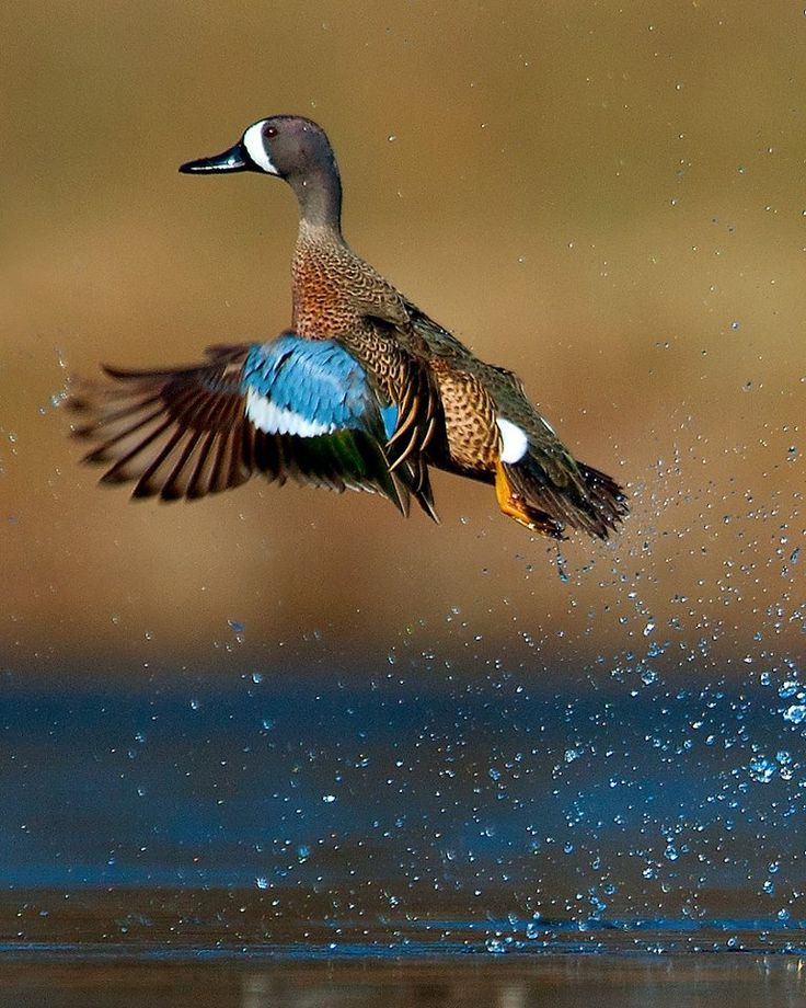 Best 20+ Blue Winged Teal ideas on Pinterest | Teal duck ... - photo#33