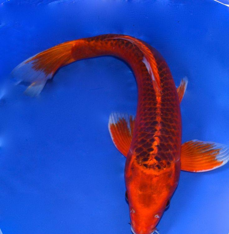 LIVE 19 INCH  FEMALE MATSUBA  KOI FISH FOR SALE